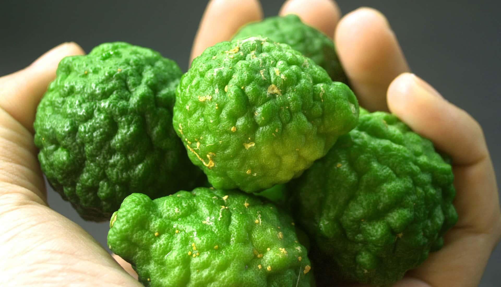 Bergamotte Frucht zu Gewinnung von ätherischem Öl von einer Hand gehalten