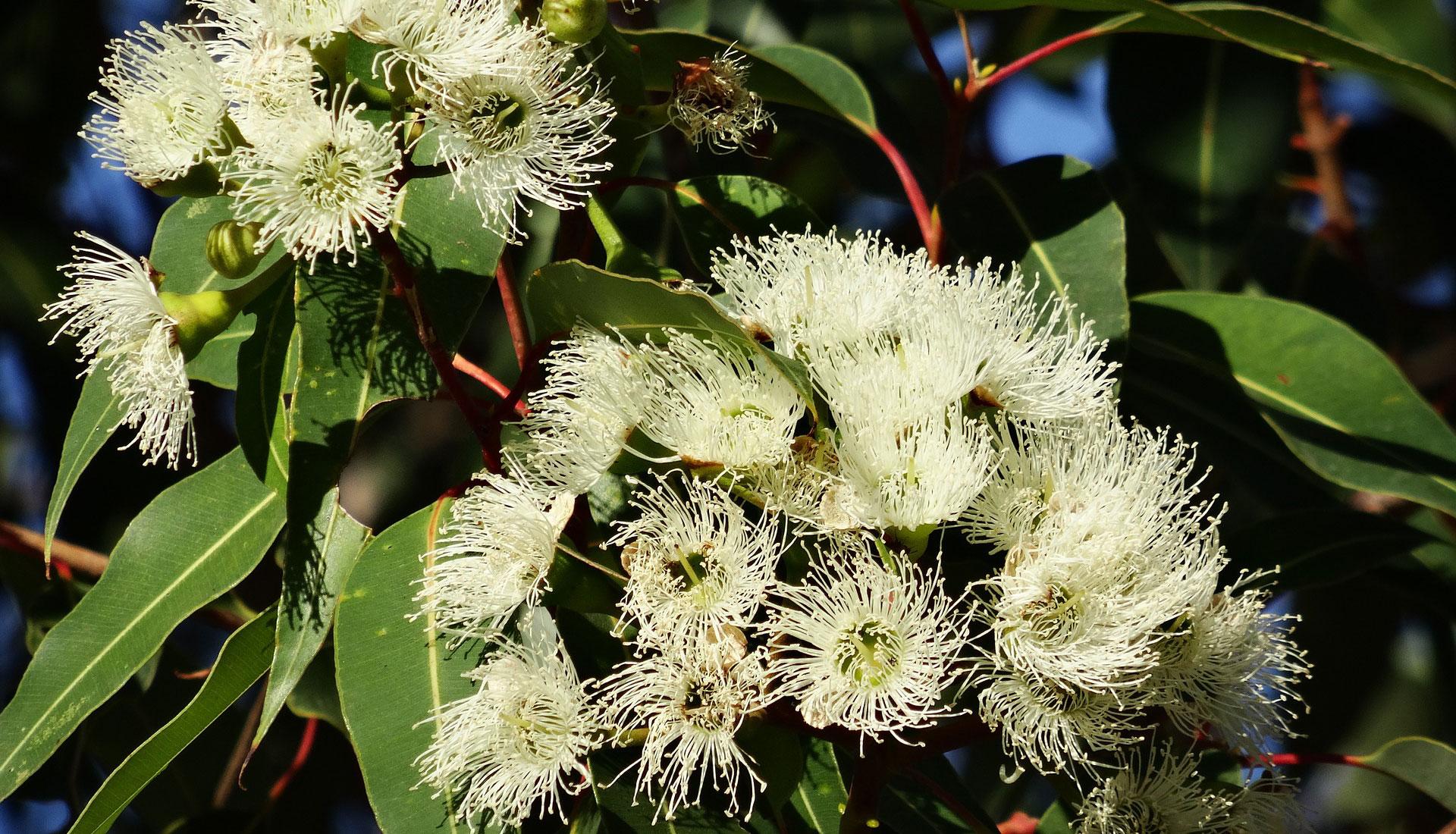 Eucalyptus Planze in voller Blüte zur Herstellung von ätherischem Öl