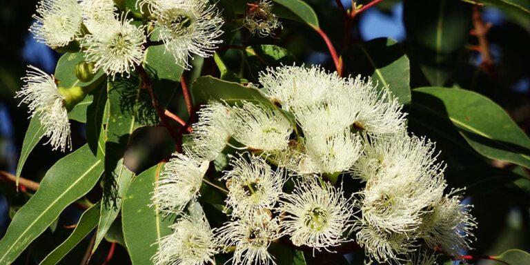 Blüten des Eukalyptus