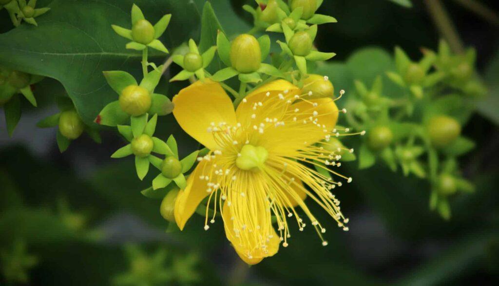 Johanniskraut Blüte aus der ätherisches Öl hergestellt wird