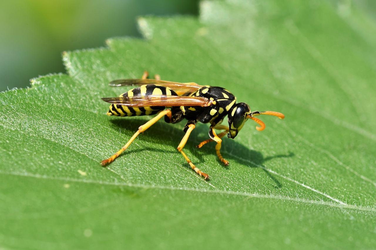 Wespe auf einem grünen Blatt