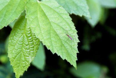 Mücke auf einem grünen Blatt
