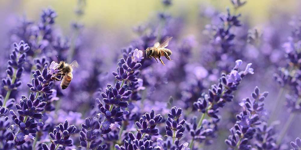 Bienen auf einem Lavendelfeld