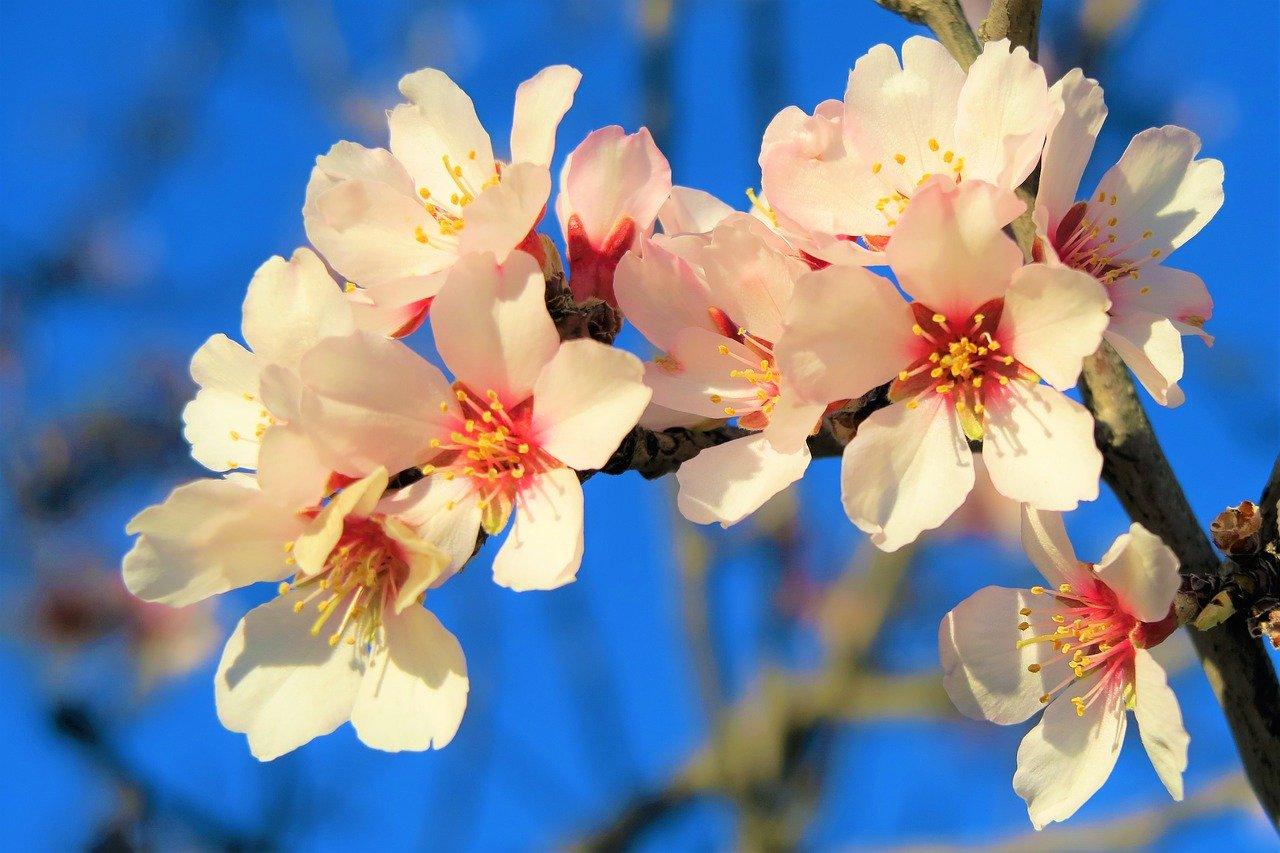 Mandelblüten im Frühjahr