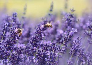 Bienen bestäuben Lavendel