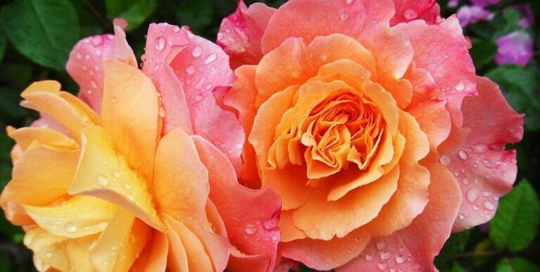 Gelb-orangene Rosen