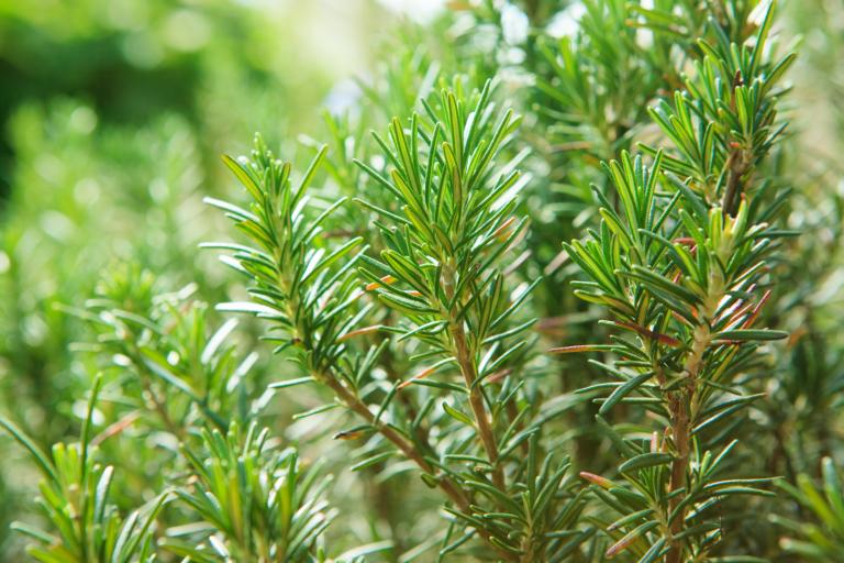 Rosmarinpflanze in der Natur