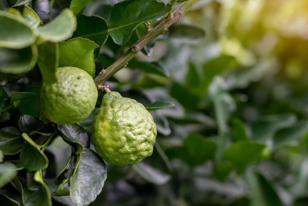 Bergamotte Früchte an einem Strauch