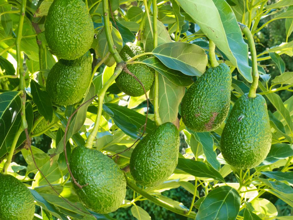 Avocado-Früchte an einem Zweig