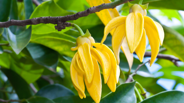 Blüten des Ylang Ylangs
